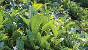 Pure Ceylon Tea